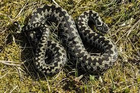 Żmija zygzakowata (Vipera berus) - jedyny jadowity wąż w Polsce