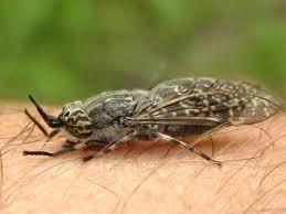 Końska mucha, bąk, giez: co to za owad, gdzie można go spotkać i ...
